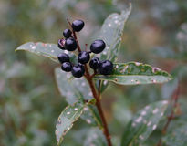 Une fleur gentille avec les baies noires Photo libre de droits