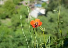 Une fleur isolée Pavot rouge Photo stock