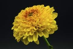 Une fleur jaune d'isolement Photos stock