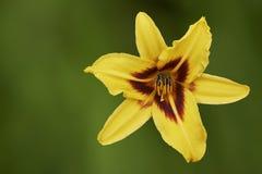 Une fleur jaune de lis Photographie stock libre de droits