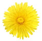 Une fleur jaune de pissenlit Photo stock