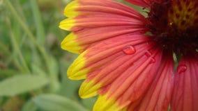 Une fleur multicolore Images libres de droits