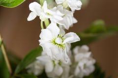 Une fleur néerlandaise dans notre chambre Image stock