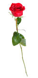 Une fleur naturelle de rose de rouge d'isolement sur le blanc Image libre de droits