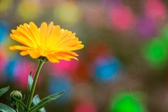Une fleur orange des officinalis &#x28 de Calendula ; Pot Marigold&#x29 ; photos libres de droits