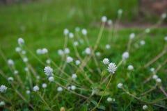 Une fleur ou une masse des fleurs sur un bouquet d'arbre ou de buisson des pivoines roses fraîches Photos stock