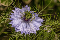 Une fleur pourpre étrange Photos libres de droits