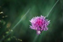 Une fleur pourpre d'une ciboulette Photo libre de droits