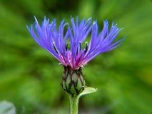Une fleur pourpre dans le jardin photo libre de droits