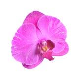 Une fleur rose d'isolement d'orchidée Image stock