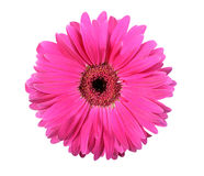 Une fleur rose d'isolement sur le fond blanc Image libre de droits