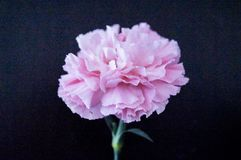 Une fleur rose d'oeillet d'isolement sur le beauti noir de fond ainsi Image stock