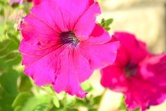 Une fleur rose de ketmie Photos stock