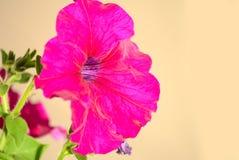 Une fleur rose de ketmie Image stock