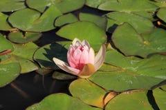 Une fleur rose de lotus Photographie stock