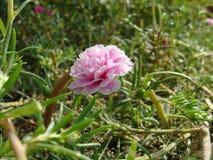 Une fleur rose en plan rapproché d'herbe Image stock