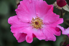 Une fleur rose et un bourgeon à un arrière-plan foncé Images stock