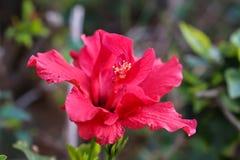 Une fleur rose fragile sur le fond des feuilles vertes image stock