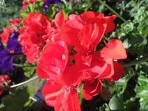 Une fleur rouge Photos libres de droits