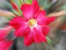 Une fleur rouge de ketmie sur le fond naturel Photo libre de droits