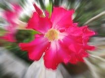 Une fleur rouge de ketmie sur le fond naturel Photo stock