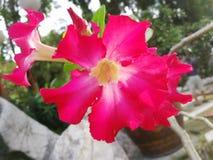 Une fleur rouge de ketmie sur le fond naturel Images libres de droits