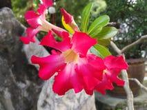 Une fleur rouge de ketmie sur le fond naturel Image stock