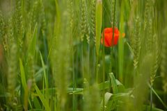 Une fleur rouge de pavot sur le fond du pré vert image stock