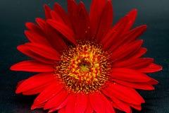 Une fleur rouge en fleur Photographie stock