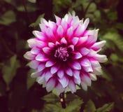 Une fleur rouge et blanche photographie stock libre de droits