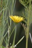 Une fleur sauvage jaune redresse un petit jardin conçu pour attirer des colibris et des abeilles photo stock