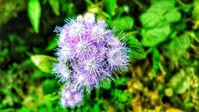 Une fleur semblable au coton images libres de droits