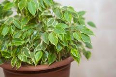 Une fleur verte dans un pot brun Image libre de droits