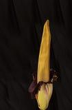 Une fois tous les dix ans la fleur de cadavre, titanum d'Amorphophallus, Photos stock