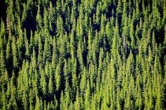 Une forêt épaisse de pin Photographie stock