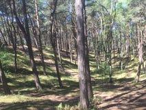 Une forêt étonnante avec les arbres inclinés images libres de droits