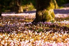 Une forêt de Cyclamen sauvage. Images stock