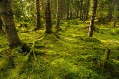 Une forêt de pin avec des arbres Photographie stock