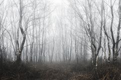 Une forêt fantasmagorique d'arbres de bouleau un jour brumeux d'hivers le froid, étant assourdi éditez photo libre de droits