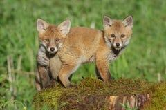 Une foule de Two, renards sur un tronçon d'arbre Photo libre de droits