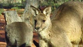 Une foule des kangourous dans l'intérieur clips vidéos