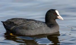 Une foulque maroule dedans à un lac local au Danemark image libre de droits