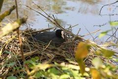 Une fourmi de poule d'eau le nid - vue de face - Frances Images stock