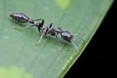 Une fourmi de SP de Tetraponera sur la lame verte Image stock
