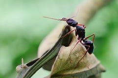 Une fourmi intense sur les lames images stock