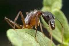 Une fourmi sur une usine au rapport optique élevé Photo libre de droits