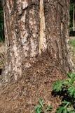 Une fourmilière au pied d'un arbre dans les fourmis de Brown de forêt sur le tronc photo libre de droits