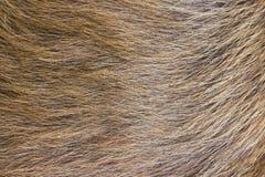 Une fourrure beige de crabot. Photos libres de droits