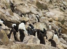 Une garderie des poussins de pingouin parmi des roches et des rochers image libre de droits