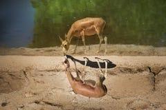 Une gazelle près du bord des eaux Images libres de droits